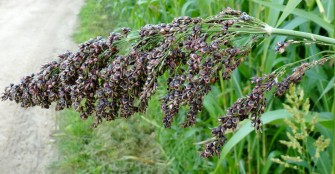 Sweet Sorghum Better than Sugarcane