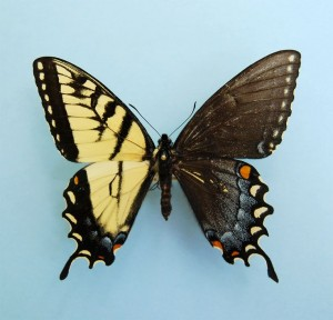 Genetuc anomaly - Butterfly with male and female wings