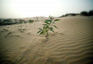 A Eucalyptus plant takes root on the sand dunes near Lompoul. The government has undertaken tree-planting projects such as this with help from the UN Environment Programme and the UN Development Programme (UNDP). 1983.