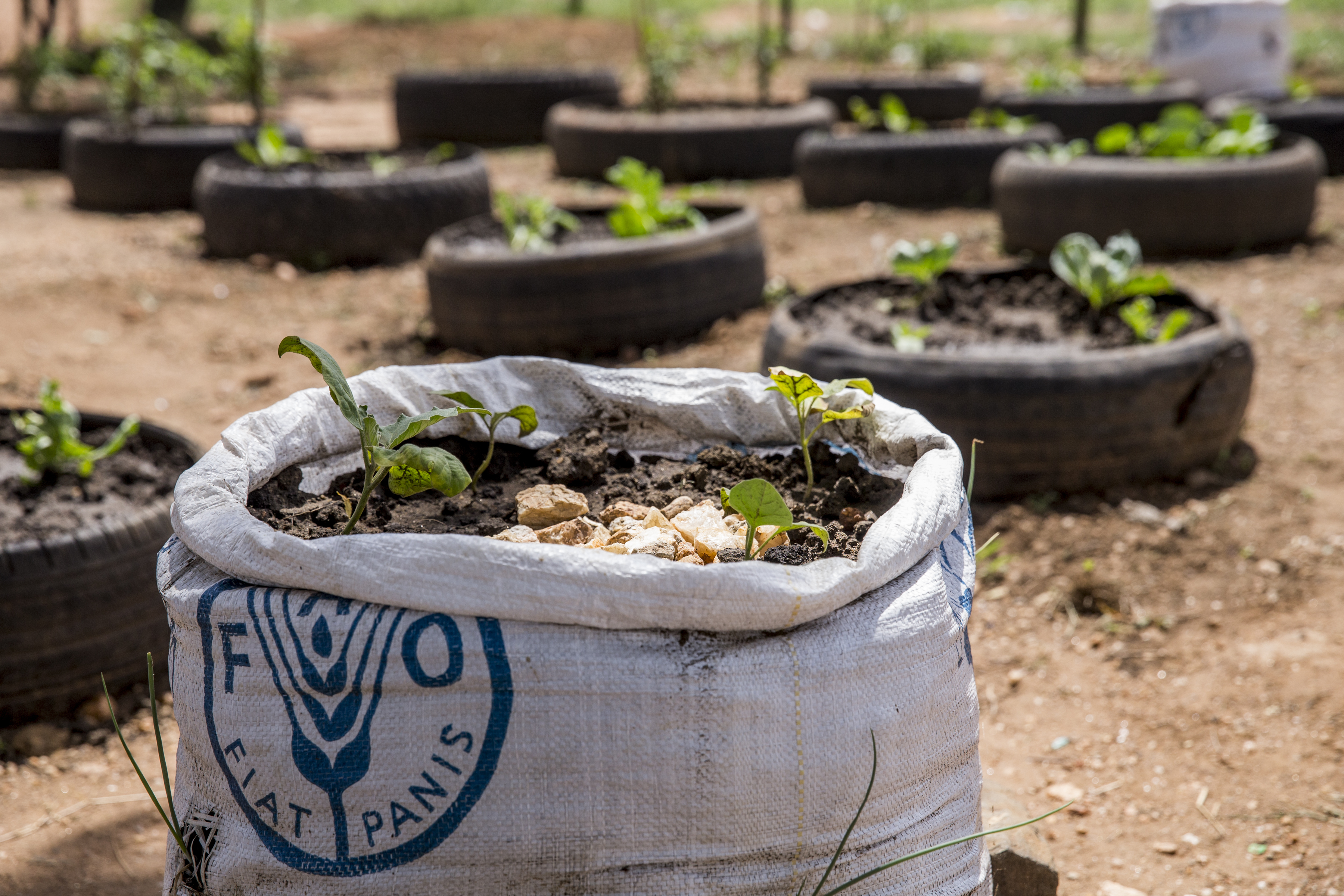 The Food and Agriculture Organization (FAO) has been working with Caritas, a national NGO, and other partners on farming projects at schools in Juba.  Teachers have been trained as facilitators to provide onward training to students on urban agriculture and best agronomic practices.  The objective is that the students apply the practices they learned at home, diversify their diets by adding vegetables to their main meals, and sell a portion of the crops at markets so the school can reinvest in agriculture next season.    These photos show the efforts at a school in the Kator area of Juba.    Access to water for agriculture purposes has been a main challenge for schools participating in FAOÕs project. The project has therefore provided the school with water harvesting structures (1 per school) to capture rainwater as the rainy season progresses.