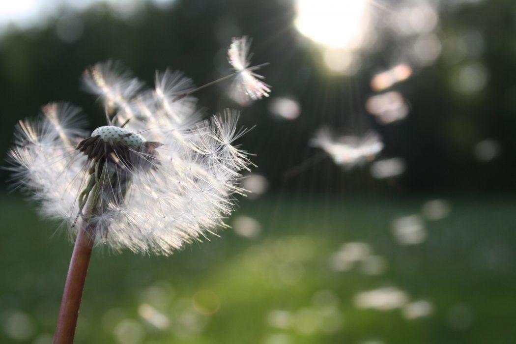 luck-dandelion-flower-impakter