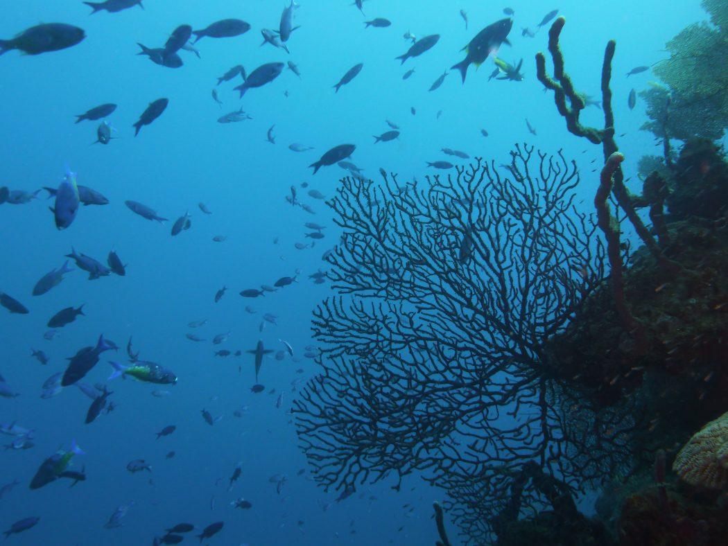 Reef scape and schooling Clepticus parrae creole wrasse_Roatan Honduras_© Noel Wingers