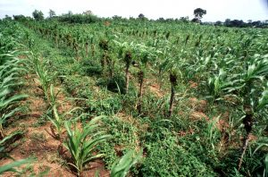 Hedgerow intercropping. Hedgerow of Laucaena leucocephala (Leguminosae) and maize as a companion crop in a field at Wenchi. Leucaena fixes nitrogen. - - Support to national agro-forestry programme in Ghana: GHA/88/007. This project assisted by the UNDP/Food and Agriculture Organisation (FAO) operates various demonstration plots where farmers are taught new or improved agricultural techniques such as the use of Leucaena leucocephala intercropped with food crops where the