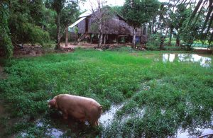 Pigs in a rice paddy where they provide fertilization. - - Farmers Field School: SPFP/CMB/6701. Eighty percent of the Cambodian population is dependent on subsistence farming with rice as the main agricultural crop. The agricultural sector contributes to almost 50 percent of the GDP of the country, although agricultural productivity is low in comparison with neighboring countries in Asia. Food production remains highly vulnerable to the effects of adverse weather conditions such as flooding or droughts. Years of civil strife have taken substantial agricultural areas out of production, and a large part of the population of Cambodia is subject to temporary, seasonal or chronic food shortages and nutritional deficiencies. The objective of the Special Programme for Food Security in Cambodia is to maximize national food self-sufficiency and to reduce the risks of disruptive variations in supply, by demonstrating and facilitating a rapid increase in agricultural productivity and food production on an economically and environmentally sustainable basis. Various techniques and technologies have been identified to increase agricultural production, depending on the potential and constraints in the seven selected pilot areas. These include water control techniques, crop intensification, improved pig and poultry production, analysis and evaluation. Integrated pest management is one of the crop intensification technologies and farmers' field schools are set up to educate farmers' groups in the pilot areas.