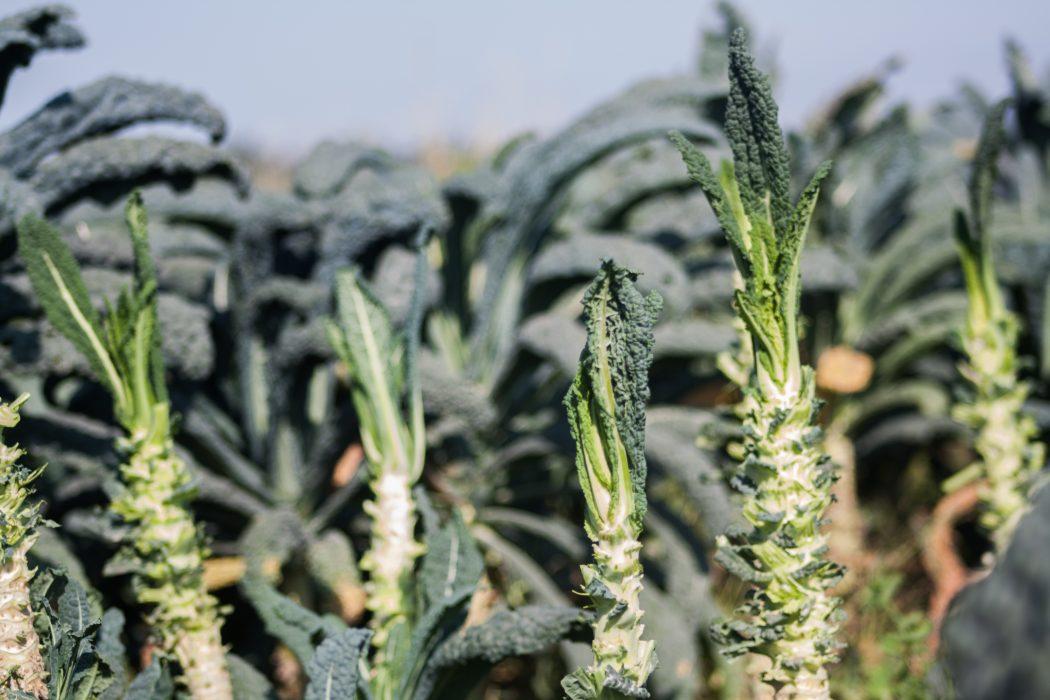 Kale Post a Full Harvest copy