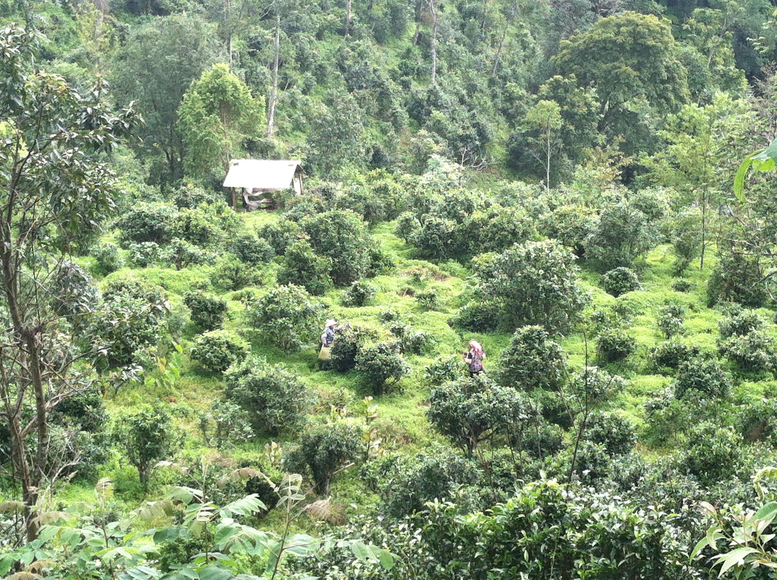 Tea_Yunnan