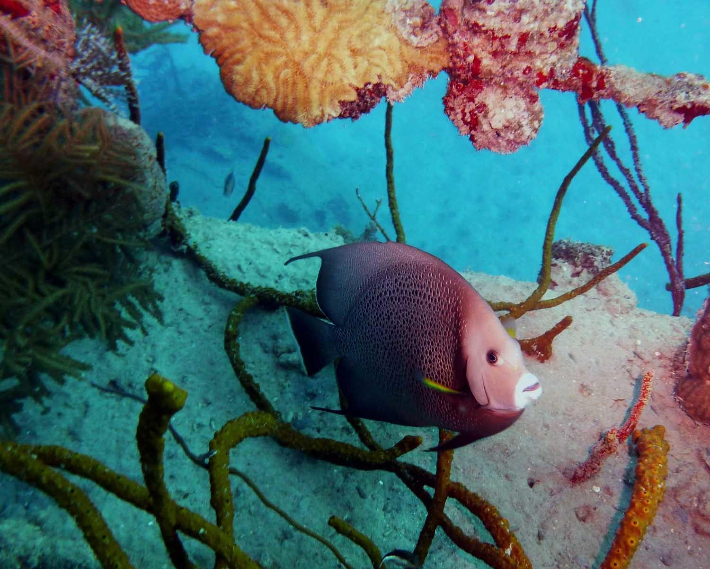 Pomacanthus arcuatus_grey angelfish_Roatan Honduras_© Noel Wingers