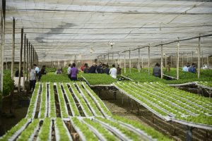 14 November 2017, Cairo, Egypt - Fresh produce is seen growing inside greenhouses at Egyptian Hydrofarms co., the first hydrofarm company in Egypt, during the visit of an FAO team and farmers from Egypt, Algeria and Oman, part of the program of Farmer-to-farmer study trips. The main objective of these farmer-to-farmer study trips is to promote and develop national potential on effective sustainable non-conventional water use practices for integrated agriculture-aquaculture production systems through the exchange of knowledge, experiences and expertise among farmers from the three studied countries (Algeria, Egypt and Oman).,14 November 2017, Cairo, Egypt - Fresh produce is seen growing inside greenhouses at Egyptian Hydrofarms co., the first hydrofarm company in Egypt, during the visit of an FAO team and farmers from Egypt, Algeria and Oman, part of the program of Farmer-to-farmer study trips. The main objective of these farmer-to-farmer study trips is to promote and develop national potential on effective sustainable non-conventional water use practices for integrated agriculture-aquaculture production systems through the exchange of knowledge, experiences and expertise among farmers from the three studied countries (Algeria, Egypt and Oman).
