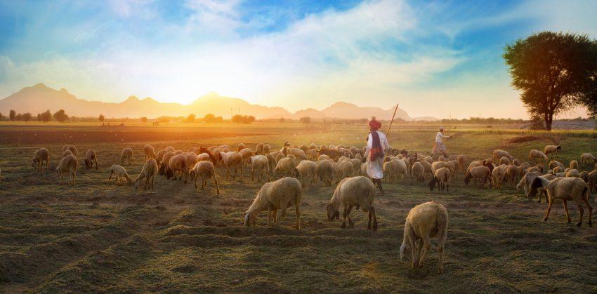 Rural Herding